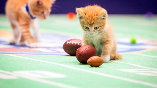 "This photo provided by Crown Media Family Networks shows kittens playing football in a scene from the Hallmark Channel's ""Kitten Bowl II,"" airing on Sunday, Feb. 1, 2015, 12 p.m. ET/PT, 11 CT."
