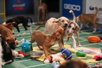 Puppy Bowl, Courtesy of Animal Planet